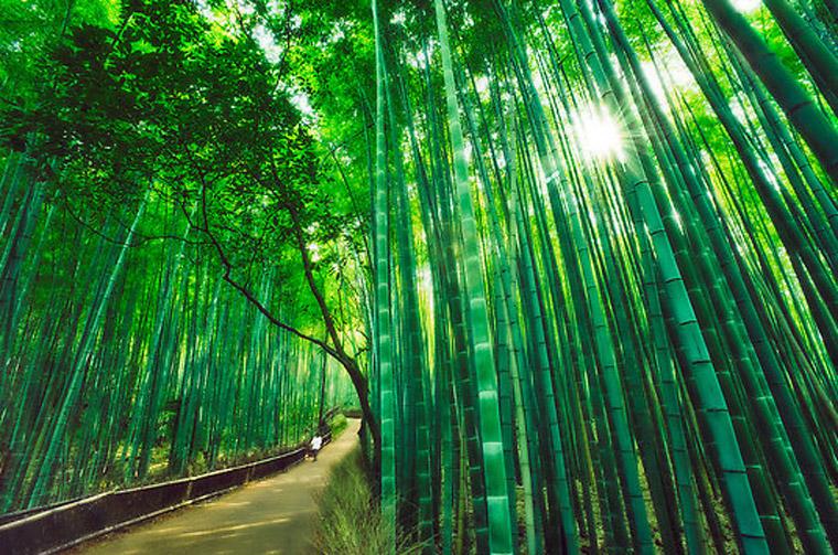 Kyoto - forêt de bambous de sagano (kansai, japon)