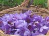 Civitella Paganico(Gr) - The Saffron